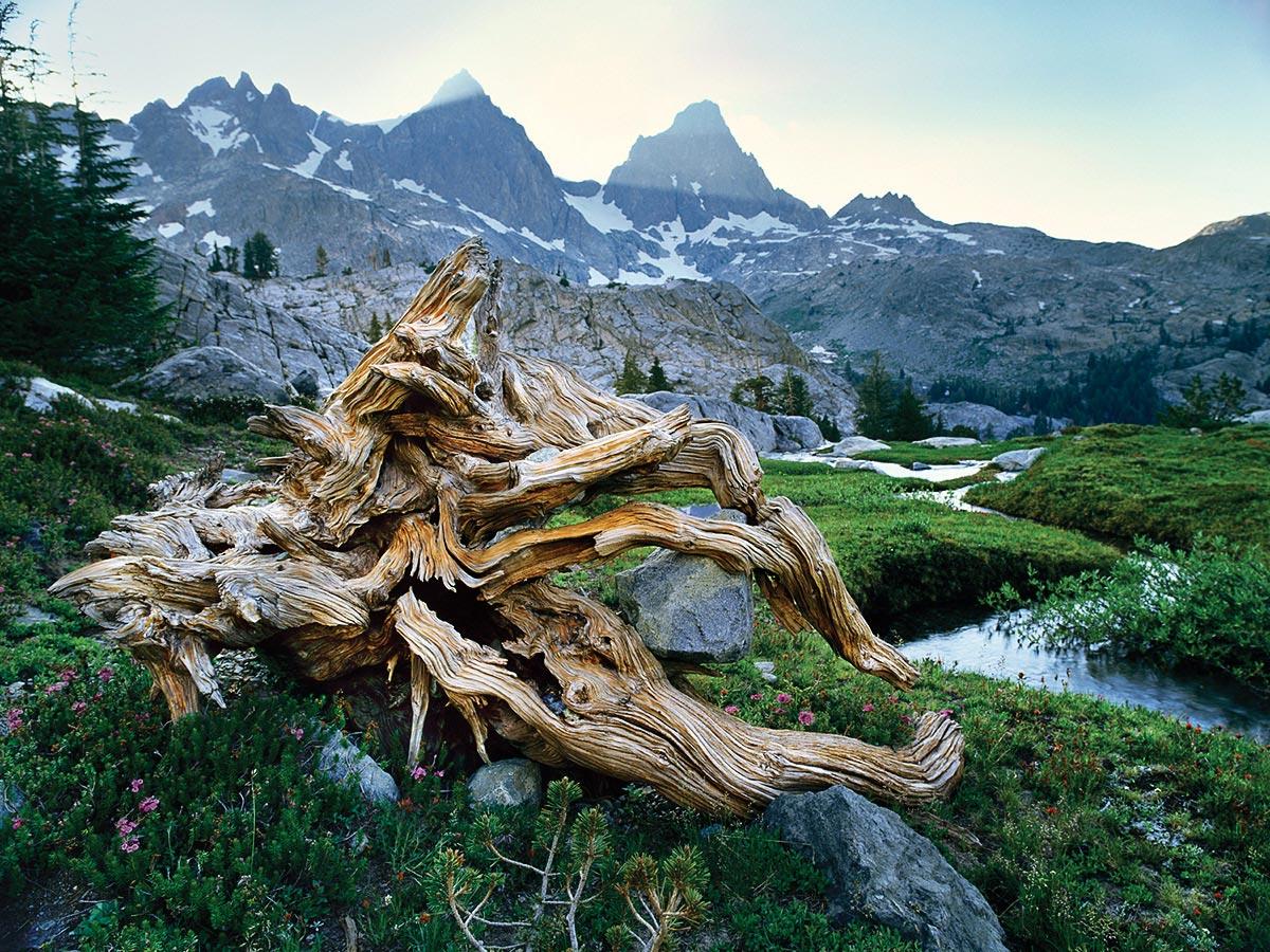 Minerats and Ancient Tree, Sierra Nevada Carmichael Productions, Inc. Landscape