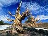 Schulman Grove Bristlecone Carmichael Productions, Inc. Landscape